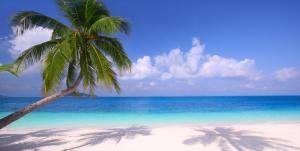beach coconut tree